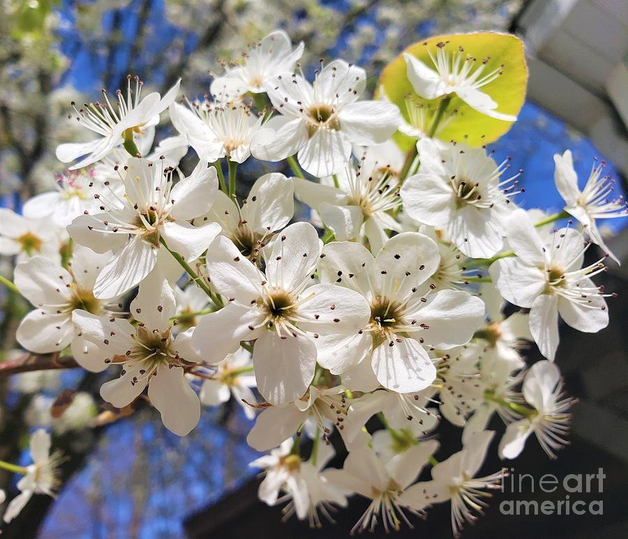 Bright White Dogwood Flowers Photograph