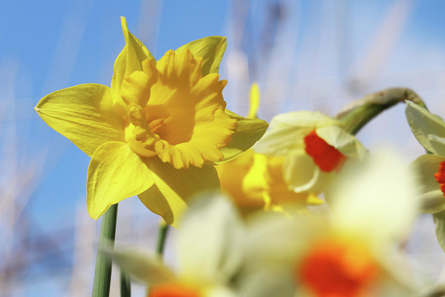 Bright Yellow Trumpet Daffodil, Narcissus, Heralds The Coming Of Spring Photograph