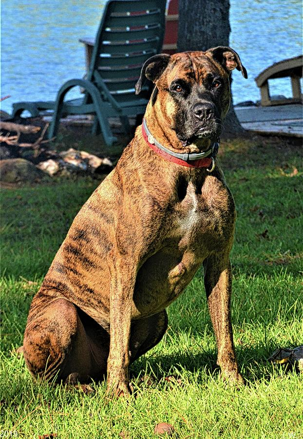 Brindle Boxer Beauty by Lisa Wooten