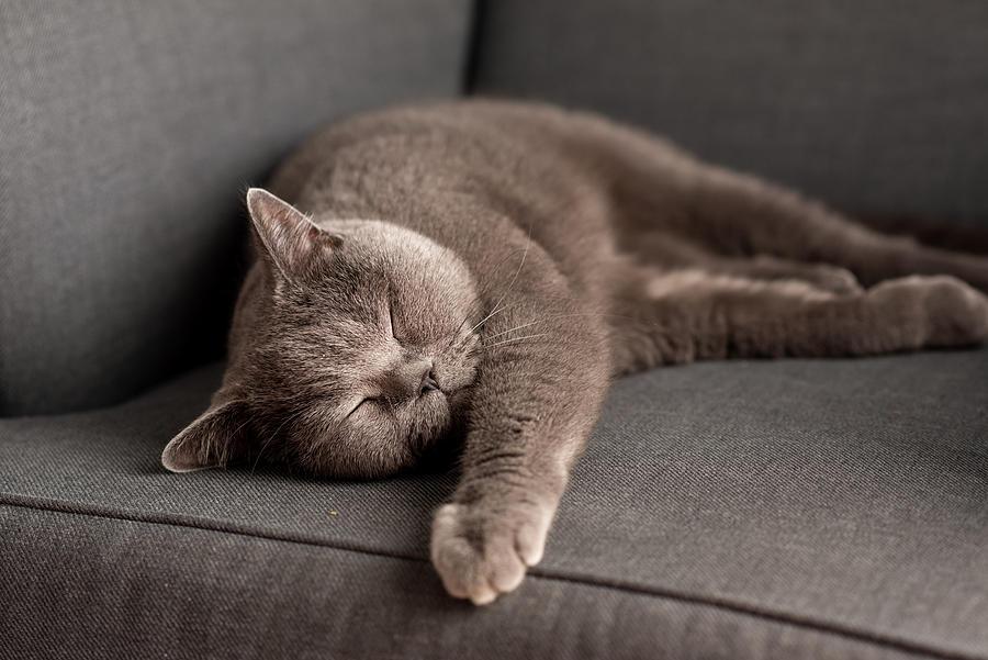 British Shorthair cat lying on white table. Copy-space Photograph by Kseniya Ovchinnikova