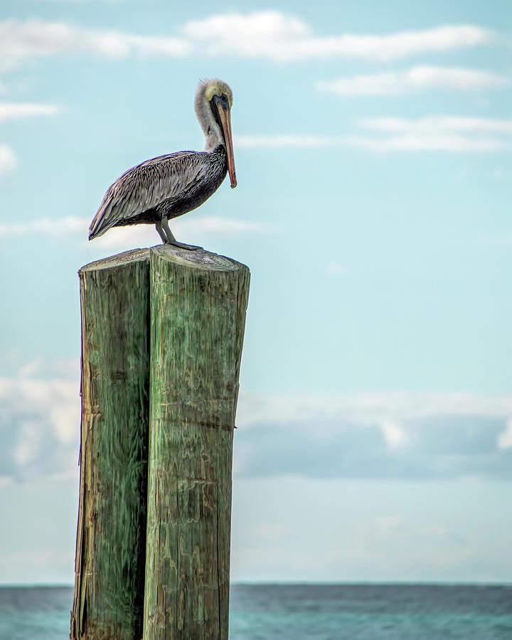 Brown Pelican At Dry Tortugas 2 by Kristia Adams