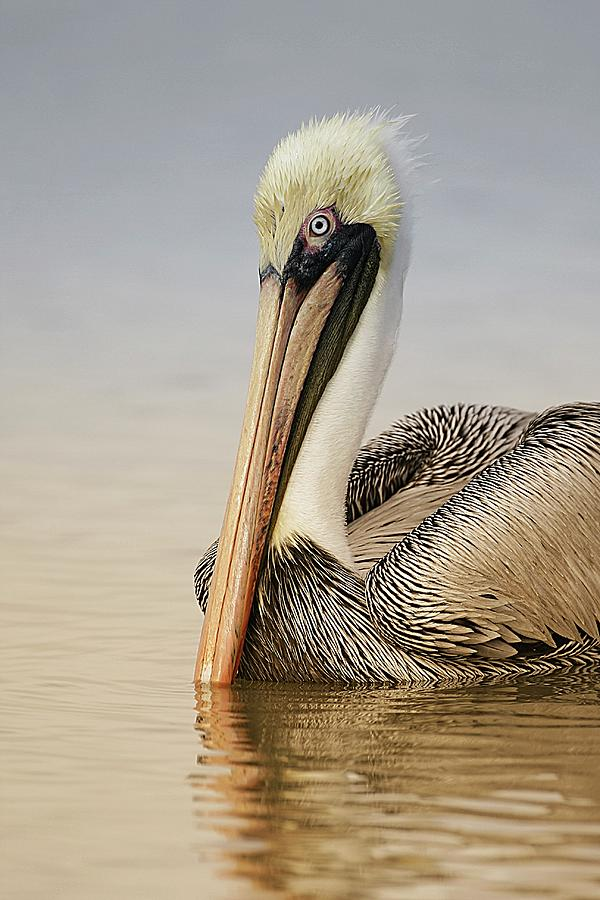 Brown Pelican At Sunrise Photograph