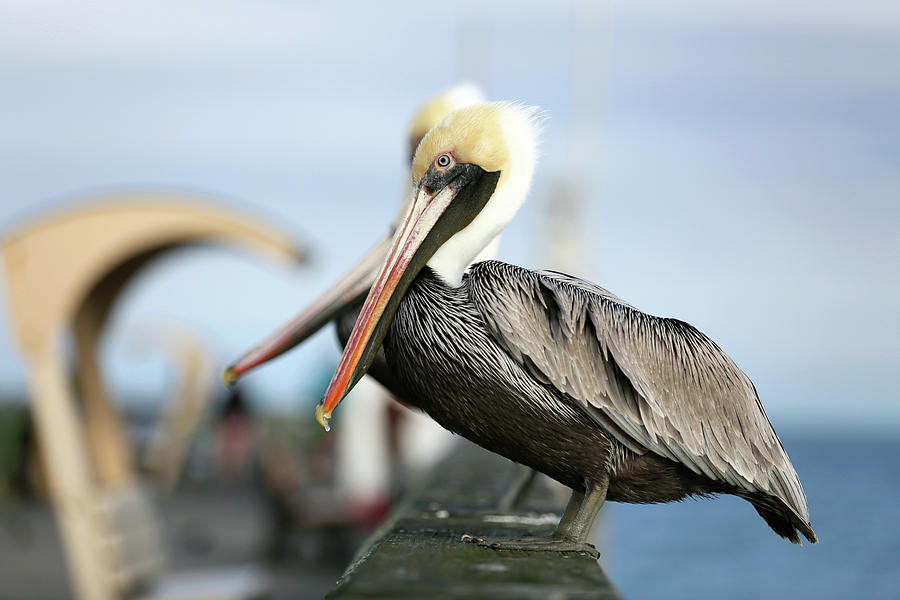 Brown Pelican Photograph