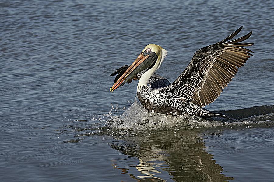 Brown Pelican Landing Photograph