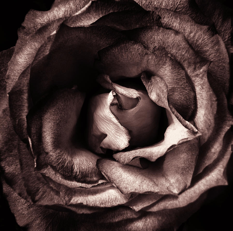 brown sepia vintage rose by Philip Openshaw