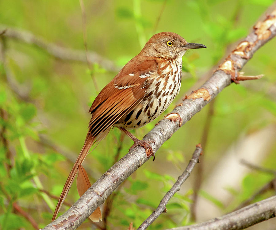 Brown Thrasher 1 by Lara Ellis