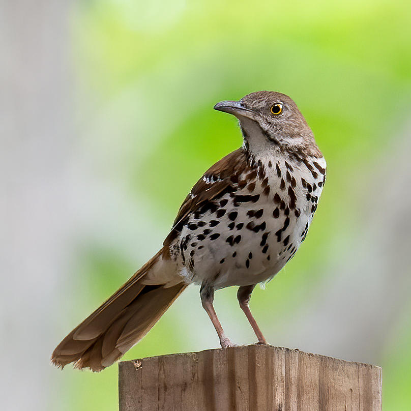 Brown Thrasher Photograph by Larry Maras
