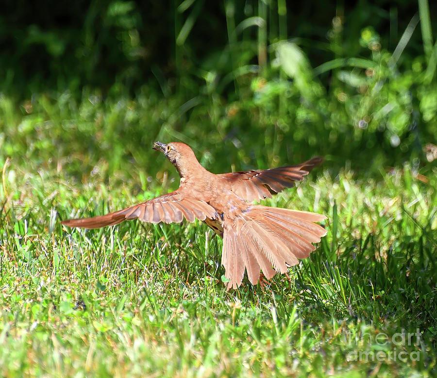 Brown Thrasher Takes Flight Photograph