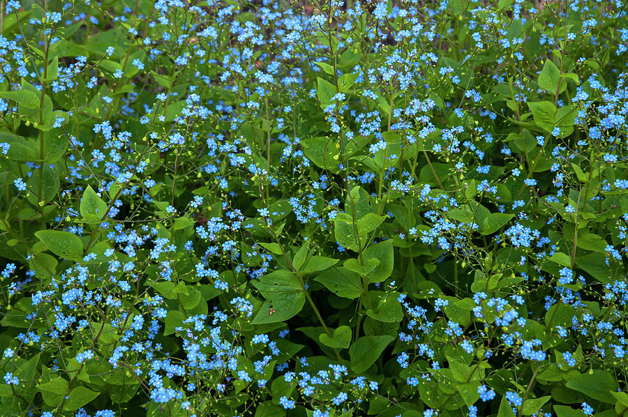 Brunnera Macrophylla by Jenny Rainbow