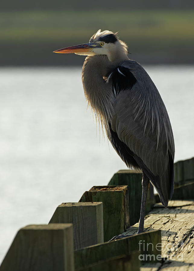 Great Blue Heron Photograph - Brunswick Pier Heron Heaven by Banyan Ranch Studios