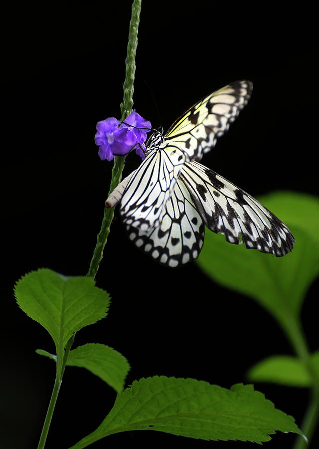 Brush Footed Butterfly by John Poon