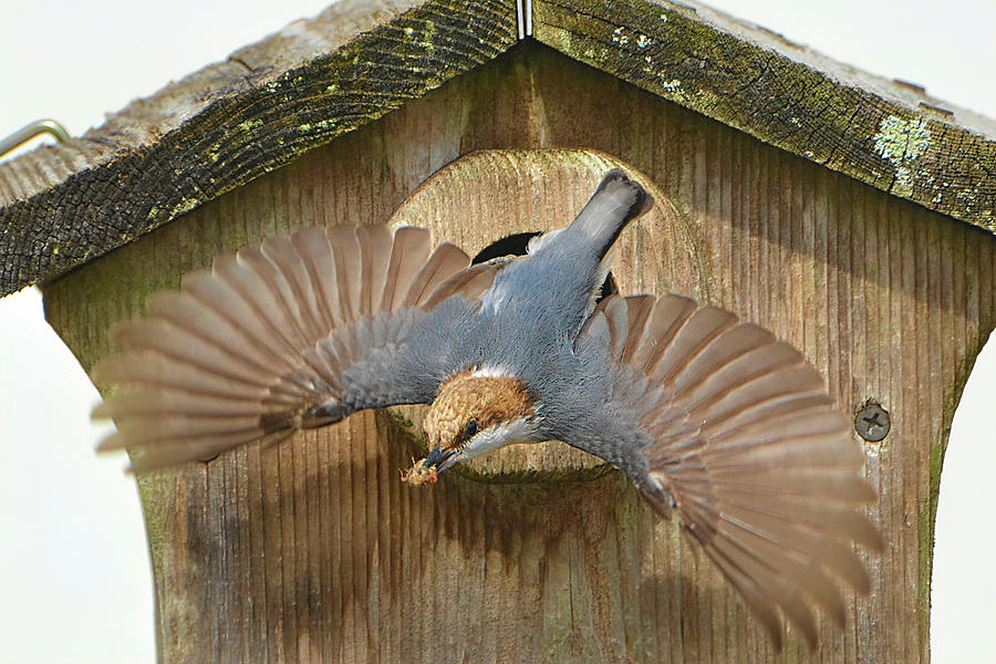 Brown Headed Nuthatch Photograph - Brown Headed Nuthatch Flight by Jerry Griffin
