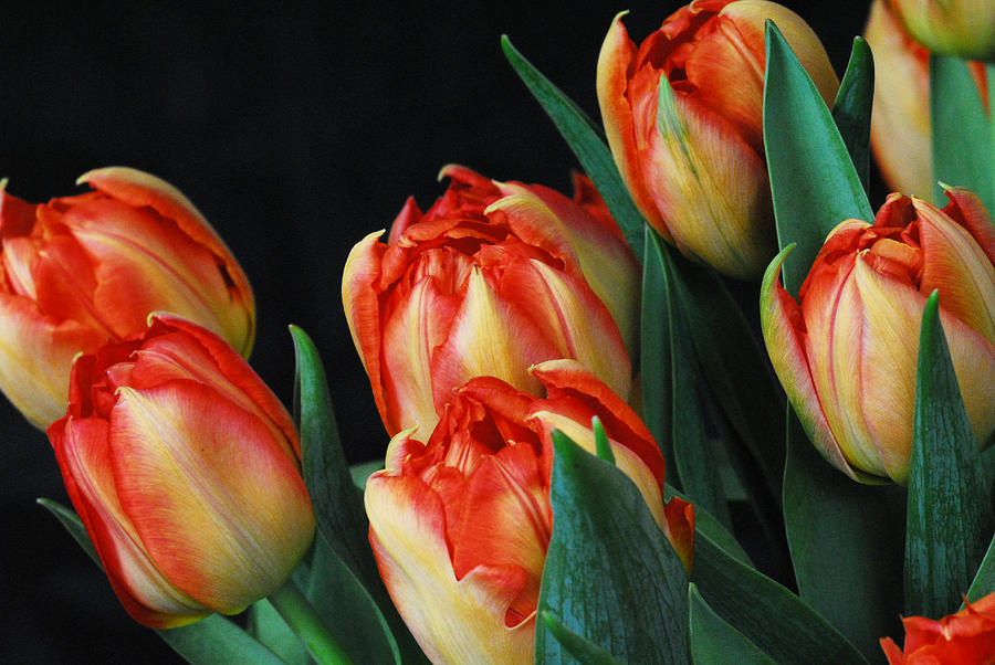 Tulip Photograph - Budding tulips by Keith Gondron