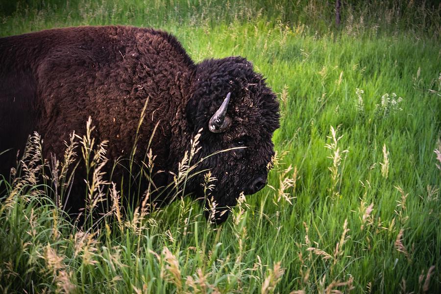 Buffalo Grass Photograph