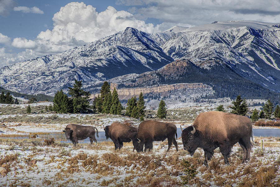 Buffalo Herd in Yellowstone National Park by Randall Nyhof