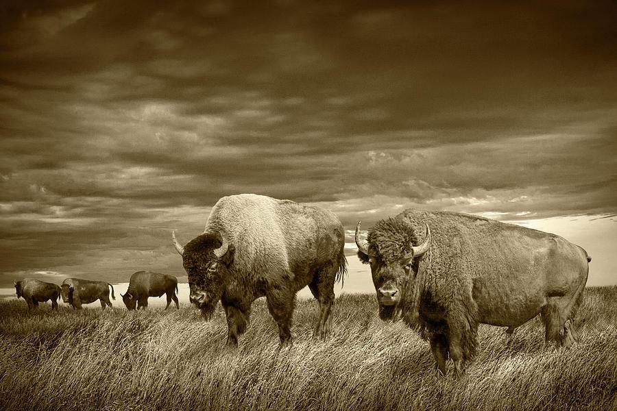 Buffalo Herd On The Prairie In Sepia Tone Photograph