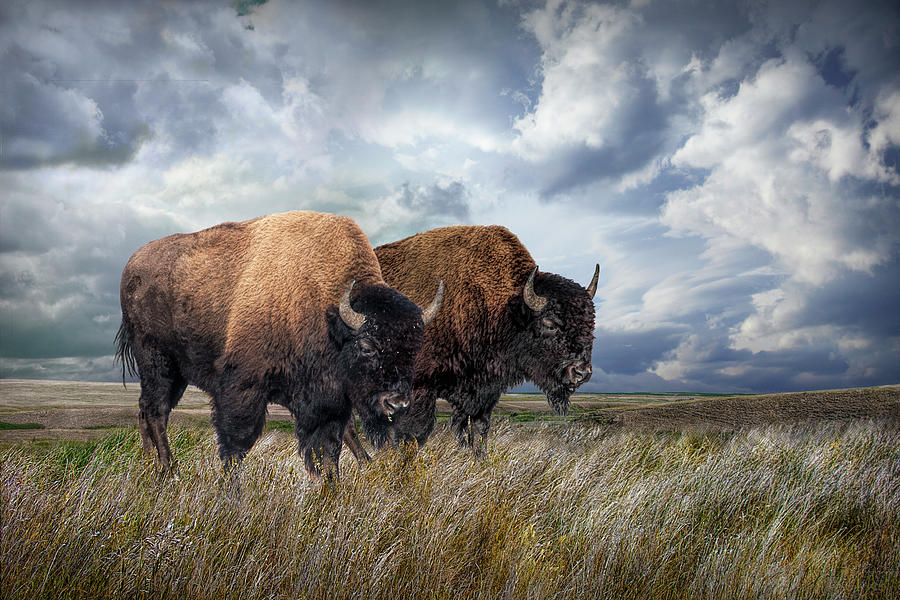 Buffalo Herd on the Prairie by Randall Nyhof