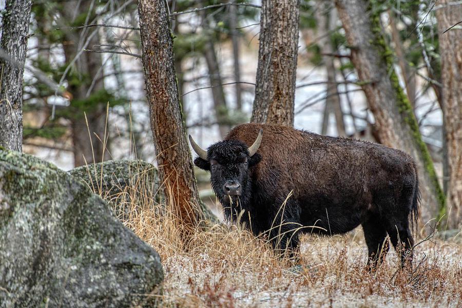 Buffalo in the Forest by Paul Freidlund