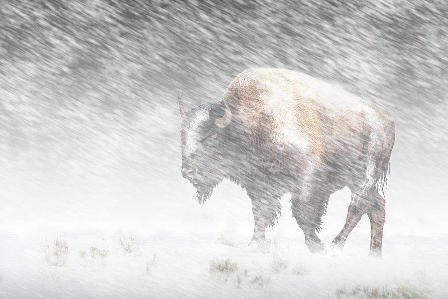 Buffalo in Winter Snow Storm in Yellowstone National Park by Randall Nyhof