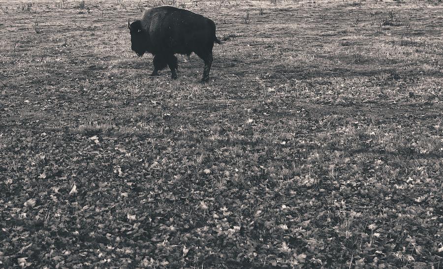 Buffalo Photograph