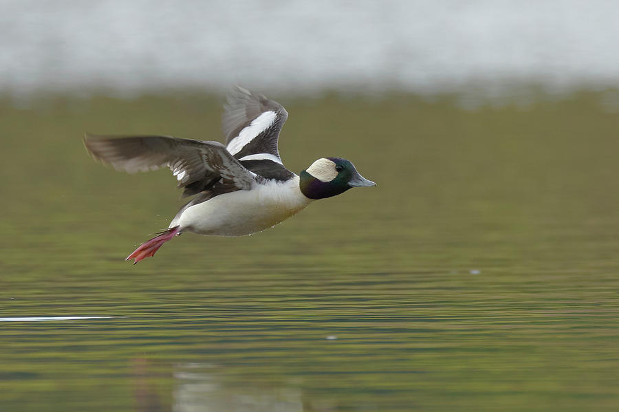 Bufflehead, Sacramento County California by Doug Herr