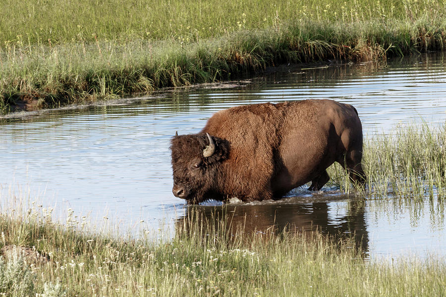 Bull Bison by Ronnie and Frances Howard