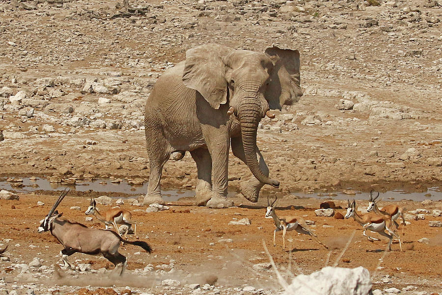 Bull Elephant Photograph - Bull Elephant Chasing Gemsbok And Springbok At A Waterhole by MaryJane Sesto