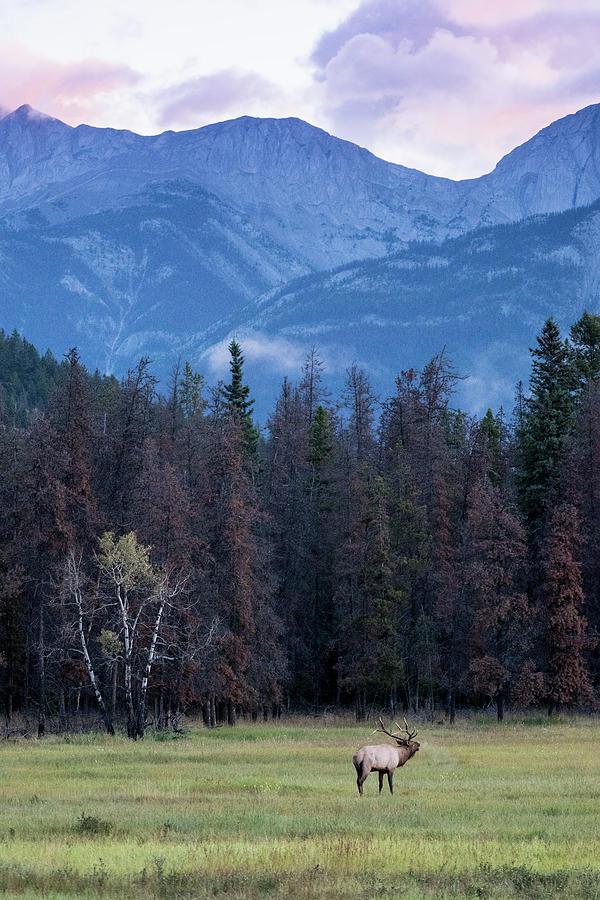 Bull Elk at Dawn by Jemmy Archer
