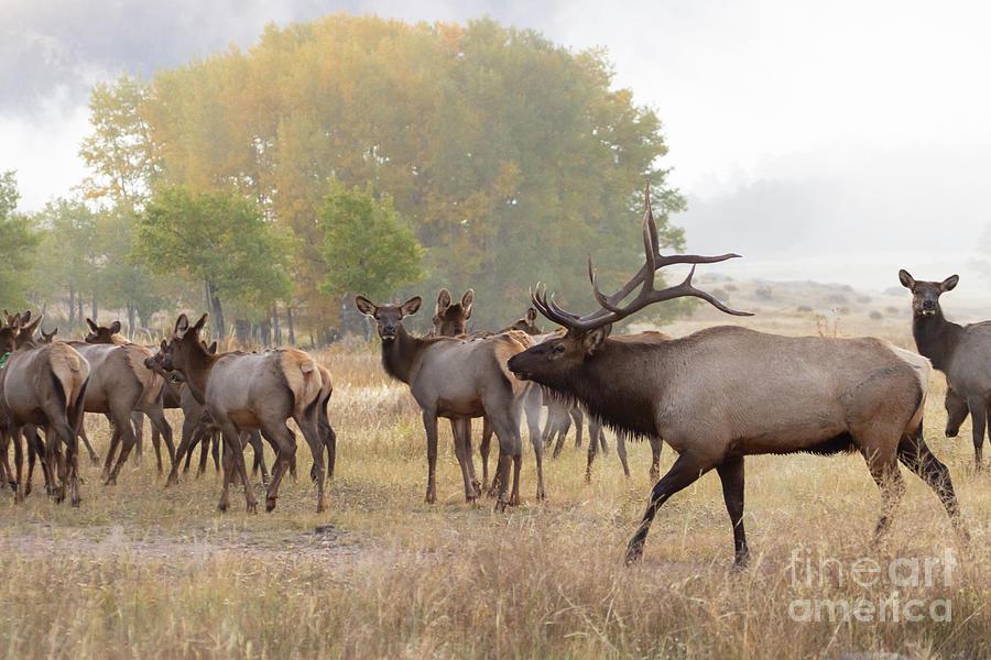 Bull Elk Herding Harem On A Foggy Morning Photograph