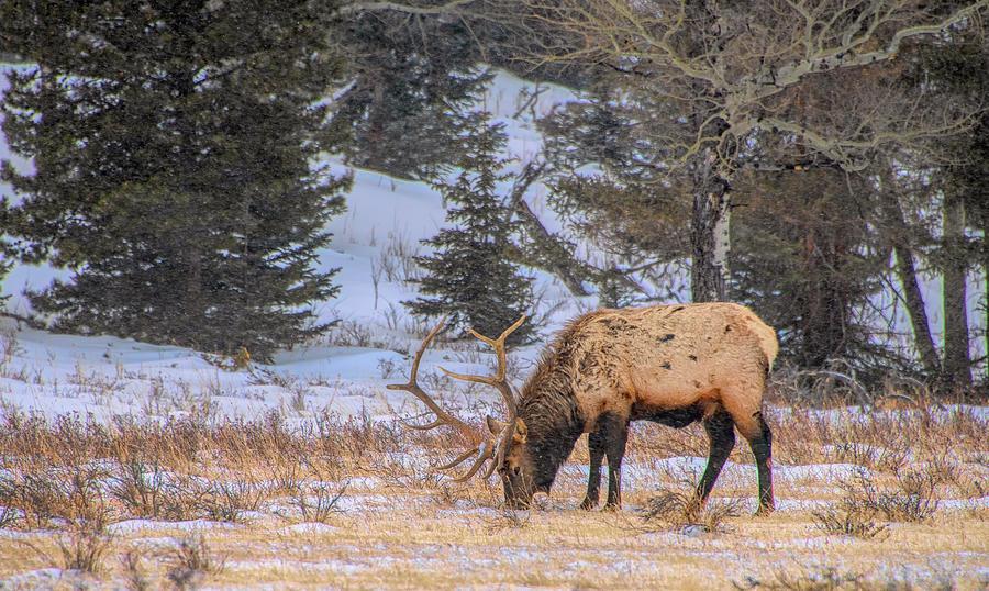 Bull Elk in Winter, Rocky Mountain National Park by Marcy Wielfaert