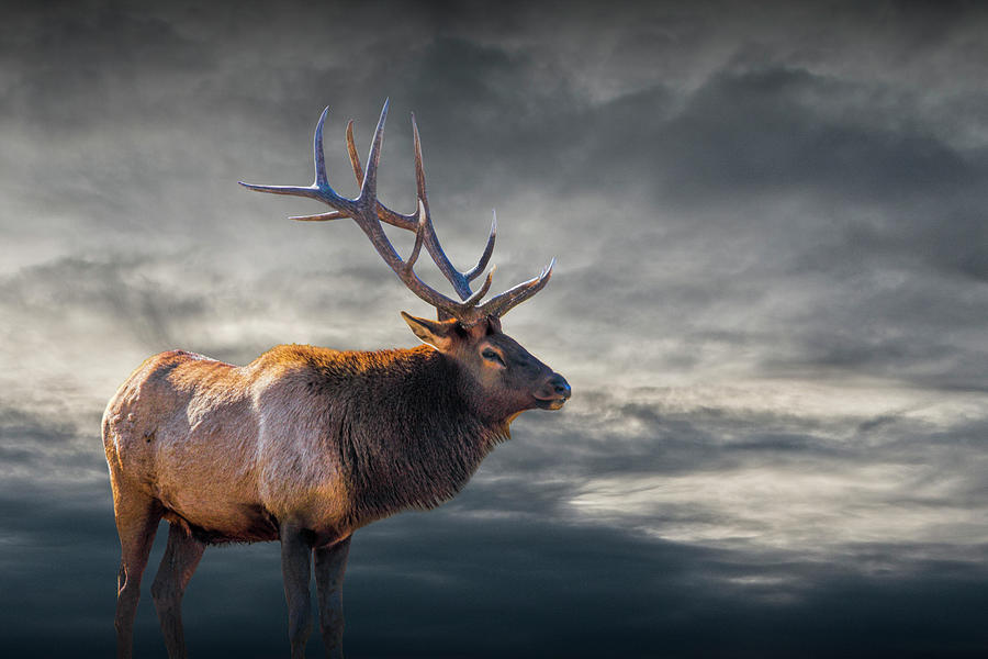 Bull Elk in Yellowstone National Park by Randall Nyhof