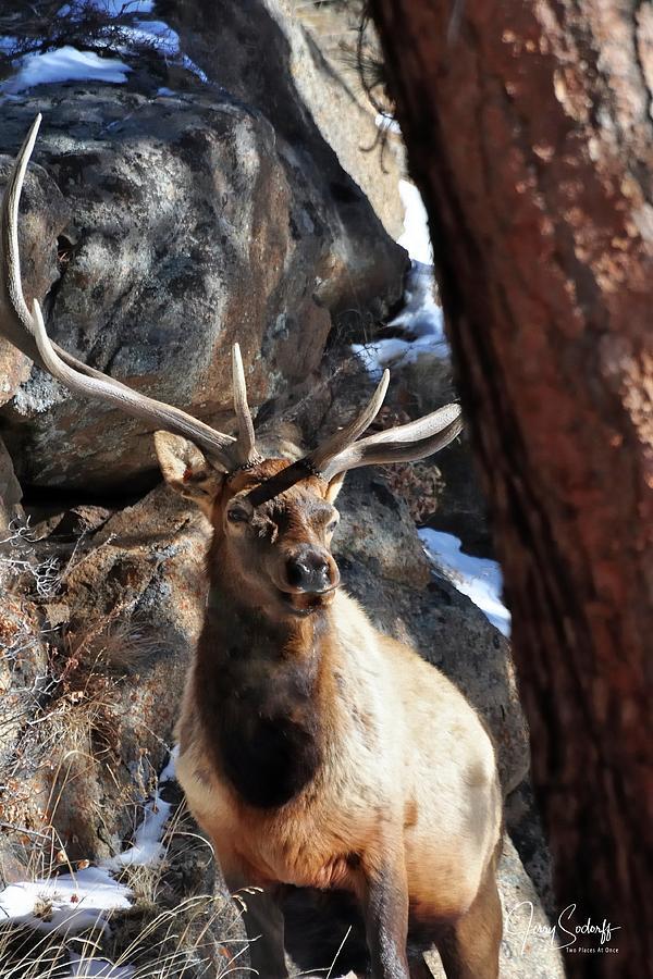 Bull Elk Listening DS by Jerry Sodorff