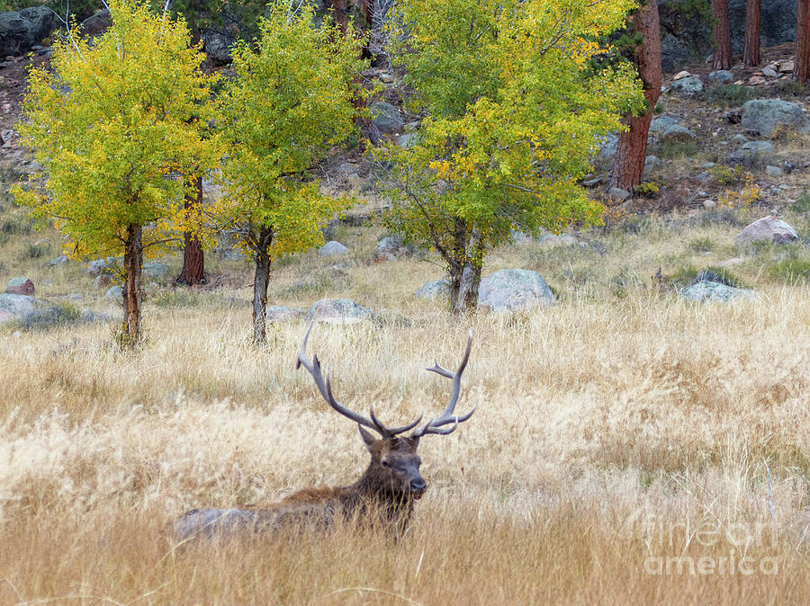 Bull Elk Resting On A Beautiful Rocky Mountain Evening Photograph