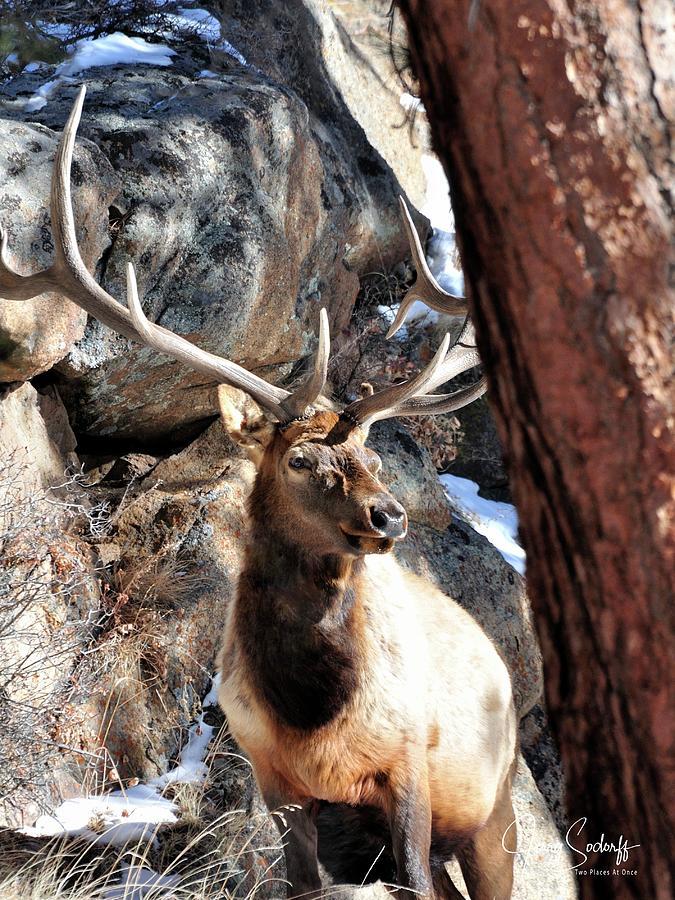 Bull Elk Spring Sun DS by Jerry Sodorff