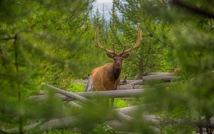 Bull Elk Photograph - Bull Elk - Yellowstone by N P S Neal Herbert