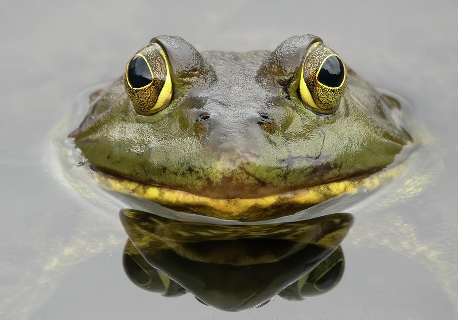 Bull Frog Closeup Photograph