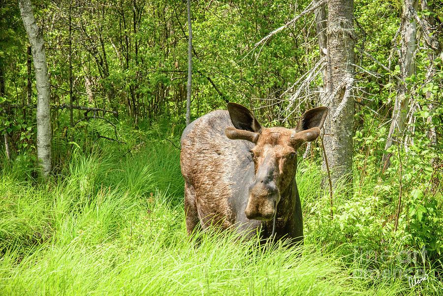 Bull Moose In Spring Photograph