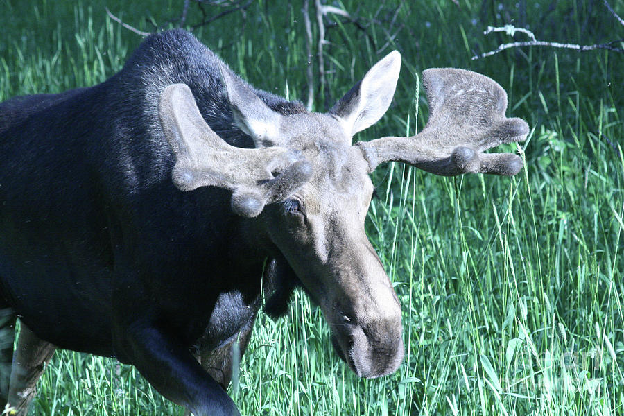 Nature Photograph - Bullwinkle by Mary Mikawoz