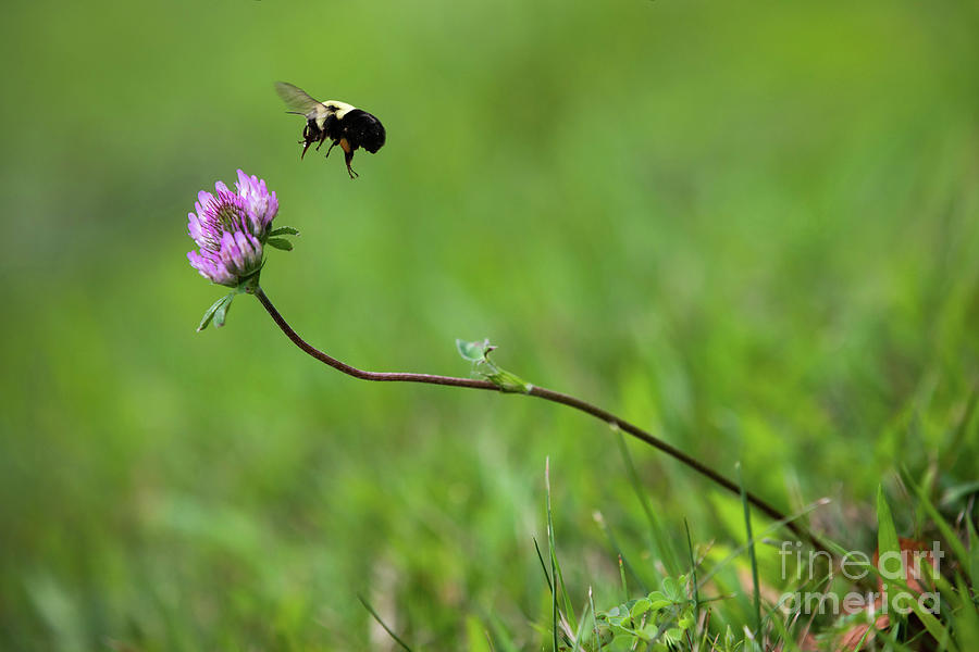Bumblebee And Clover Photograph