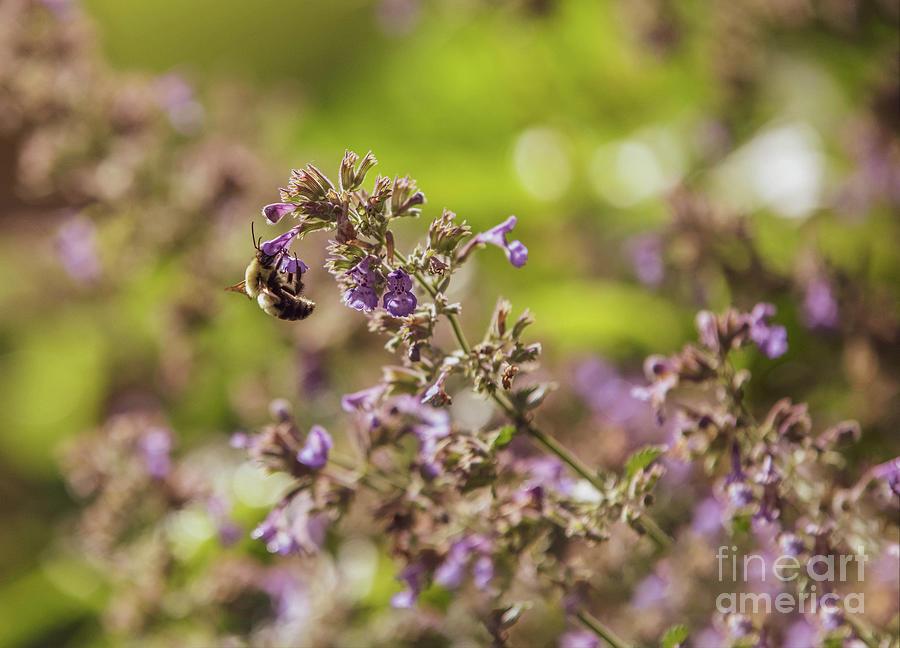 Bumble Bee Gathering Nectar Photograph