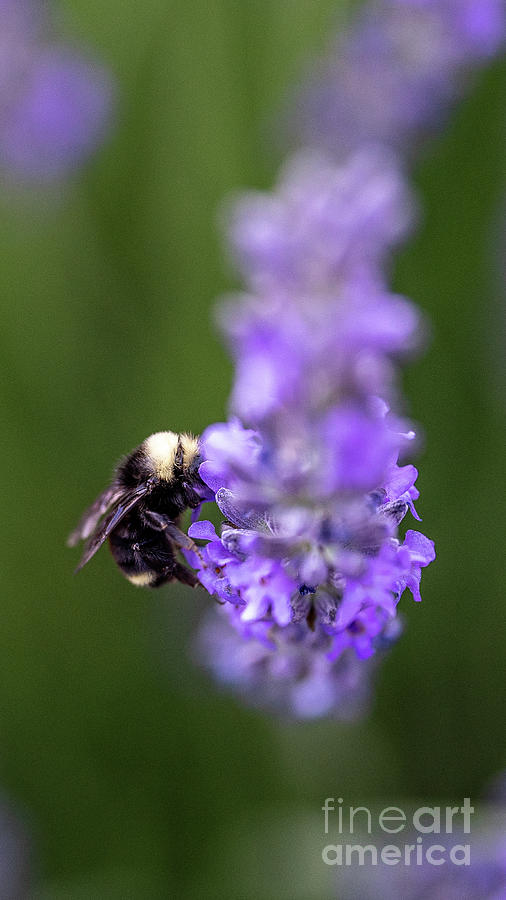 Bumble Bee Photograph - Bumble Bee by Kasra Rassouli