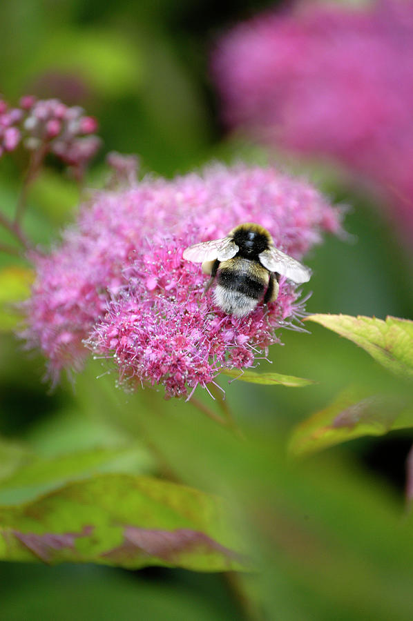 Bumble bee on pink spirea by Loren Dowding