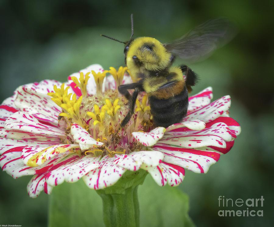 Bumble Bee On Zinnia Photograph