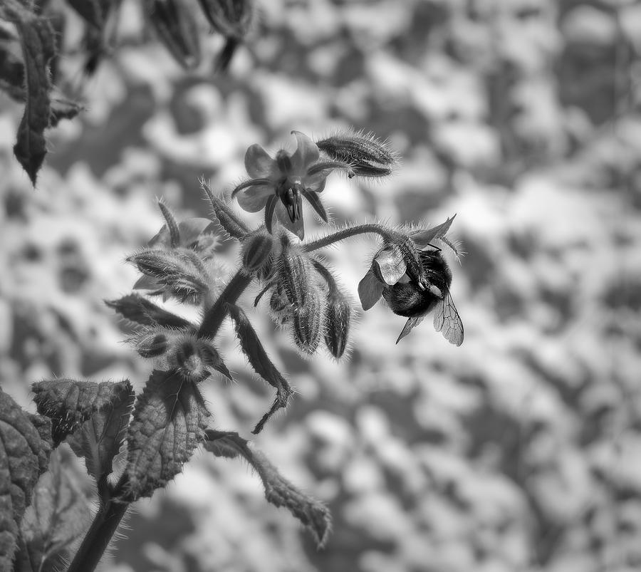 Bumblebee Photograph - Bumblebee and Borage Flowers - Monochrome by Jussi Laasonen