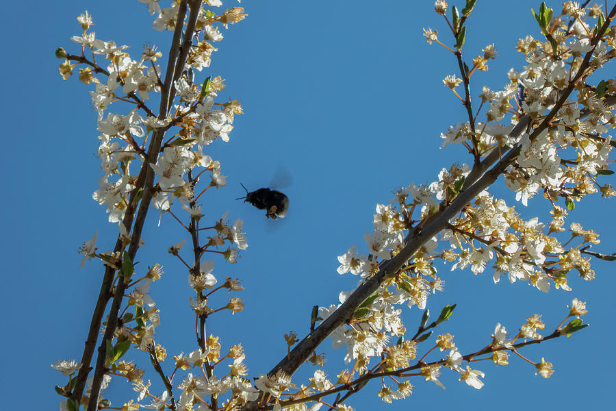 Bumblebee In Spring Photograph