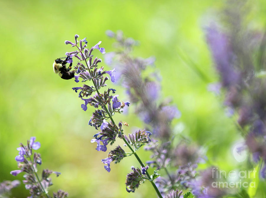Bumblebee On A  Catmint Flower Photograph