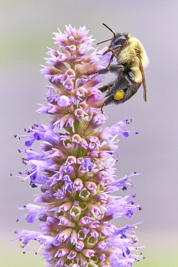Bumblebee Photograph - Bumblebee on Blue Giant Hyssop by Jim Hughes
