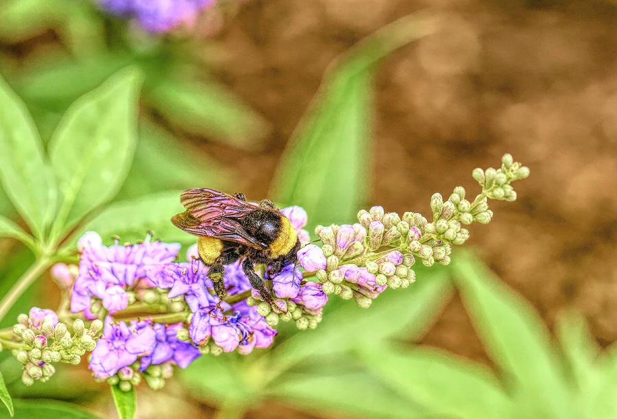 Bumblebee On Vitex Flowers Photograph