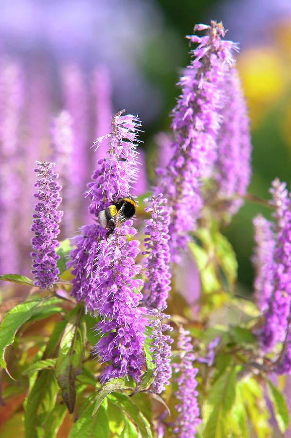 Bumblebee Purple Blooms Of Mint Shrub 1 by Jenny Rainbow