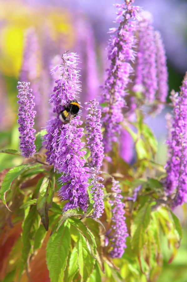 Bumblebee Purple Blooms Of Mint Shrub by Jenny Rainbow